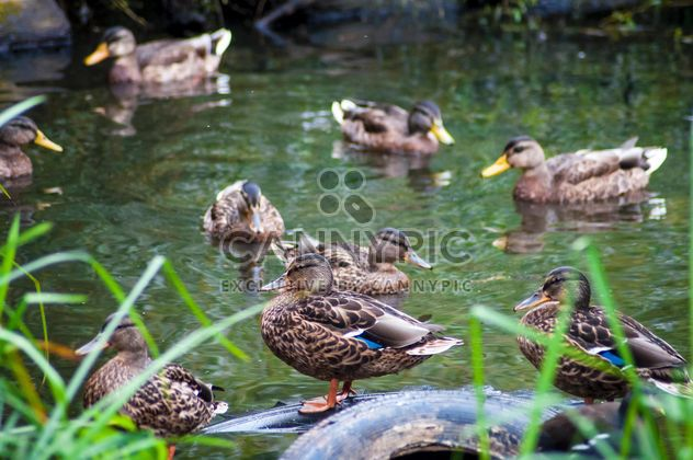 Wild brown ducks on lake - Free image #345875