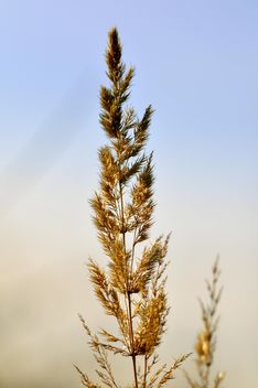 Closeup of spikelet against blue sky - бесплатный image #345905
