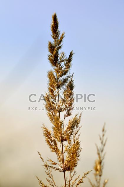 Closeup of spikelet against blue sky - Kostenloses image #345905