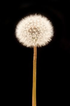 White fluffy dandelion on black background - Free image #346925