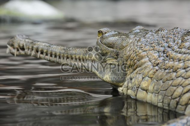 Closeup portrait of gavial in pond - Free image #348375