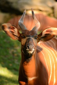 Portrait of bongo antelope at zoo - image gratuit #348385