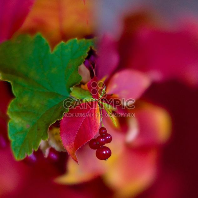 Closeup of red currant with colorful leaves - Free image #348395