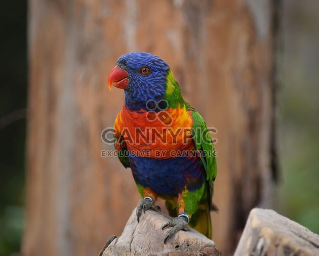 Tropical rainbow lorikeet parrot - Free image #348445