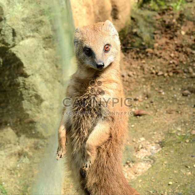 Portrait of cute mongoose in nature - Free image #348495