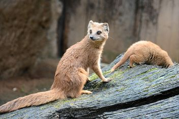 Two mongooses on tree bark - image gratuit #348505