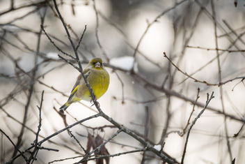 Greenfinch - image #349445 gratis