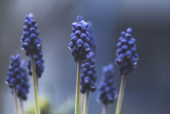 Le muscari d'un certain point de vue ... - image gratuit #351375
