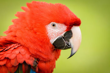 Red Parrot - Kostenloses image #351395