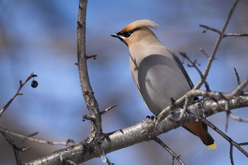 Bohemian Waxwing - Kostenloses image #355805