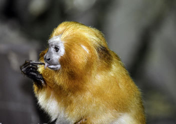Golden Lion Tamarin - Free image #360555