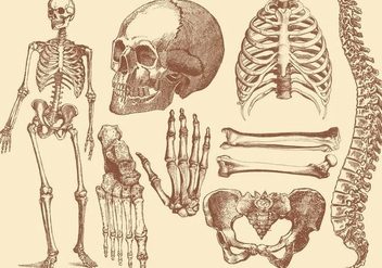 Old Style Drawing Human Bones - vector gratuit #361385