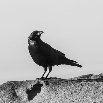 The Crow.jpg - image gratuit #363275