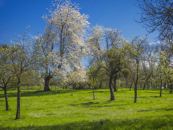 Spring Orchard - Free image #365085
