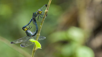 A pair of dragonfly was in wheel, so called mating. Dragonfly are belongs to Cratilla lineata lineata (Brauer, 1878) - Kostenloses image #365535