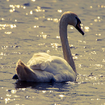 Mute Swan in the morning sun - Free image #366305