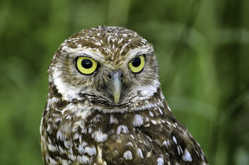 Burrowing Owl Portrait - image #376865 gratis