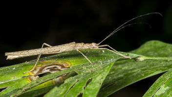 Brown Stick Insect with blue spots on wings - Free image #382295