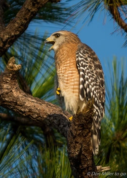 Red-shoulder Hawk - image gratuit #386955