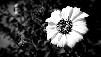 Flower (Black & White) - Free image #389815
