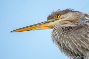 Great Blue Heron Juvenile - image #402335 gratis