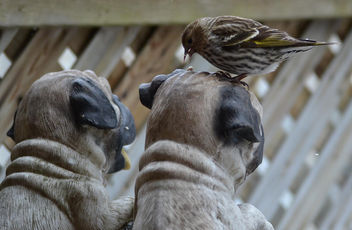 A Finch That Loves Pugs - image #411305 gratis