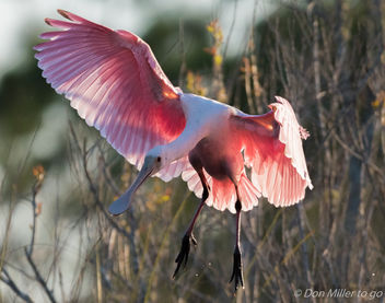 Roseate Spoonbill - Free image #412695