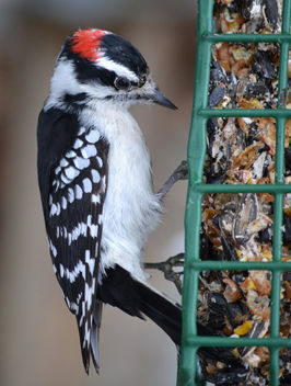 Downy Woodpecker At The Feeder - бесплатный image #413045