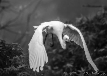 Great White Egret - image #413105 gratis