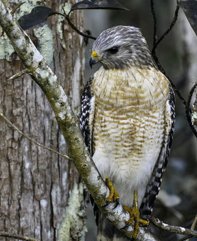 Red Shouldered Hawk - image gratuit #413275