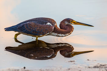 Tricolored heron X 2 - Kostenloses image #414025