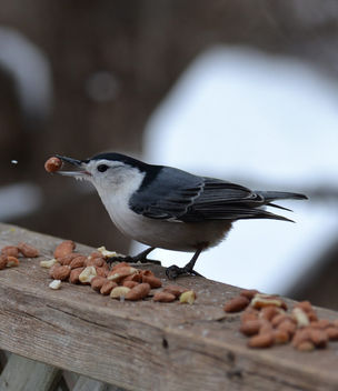 White-breasted Nuthatch - image gratuit #416805