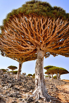 Dragon's Blood Trees - Kostenloses image #417005