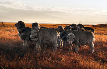 Merino sheep. NZ - Free image #419175