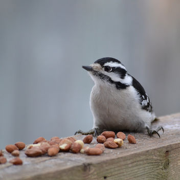 Female Downy Woodpecker - image gratuit #419625