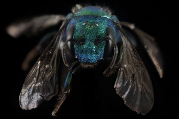 Osmia bruneri, f, Wy, lincoln co, face_2015-11-20-20.48 - бесплатный image #419665