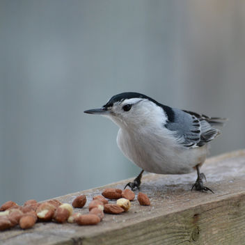 White-breasted Nuthatch Dropping By For A Snack - image gratuit #421155