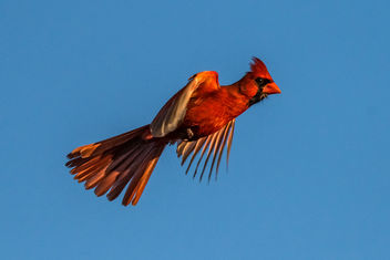 Male Cardinal in Flight - image #421615 gratis