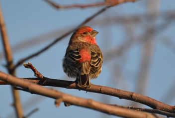 Starry Eyed Male House Finch - image gratuit #422465