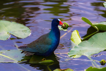 Purple Gallinule - image gratuit #424505