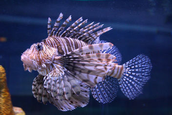 Lion Fish - image #426765 gratis