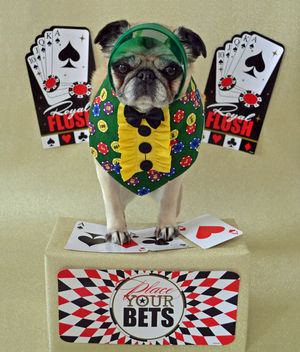 Bailey Puggins Putting On Her Best Poker Face - image gratuit #426965