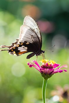 Black butterfly on pink flower - image gratuit #428735