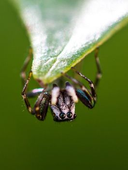 Jumping spider on leaf - image #428755 gratis