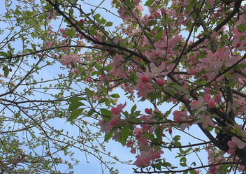 Turkey (Istanbul) Spring pink blossoms - image #431155 gratis