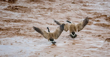 Canada Goose Love In Sync - Free image #431395