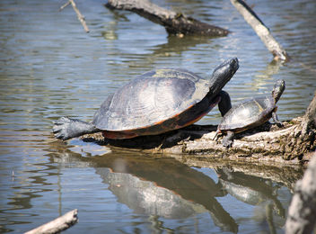 Sunbathing Turtles - image gratuit #431745