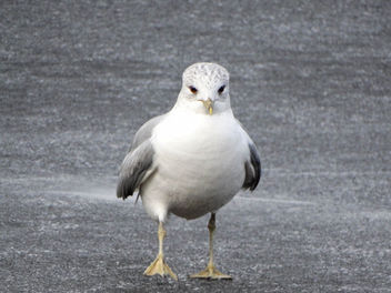 Common gull // Larus canus - Free image #431765