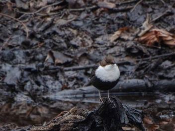 White-throated dipper // Cinclus cinclus - image #432365 gratis