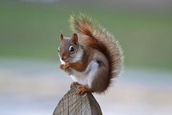 Patches the squirrel is looking good! - бесплатный image #434415